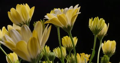 Yellow Flower closing time lapse blossom bud blooming White Lightning flowers. (Osteospermum ecklonis)