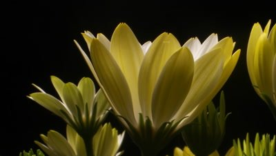 Flower time lapse blossom bud blooming on black background. White Lightning (Osteospermum ecklonis)