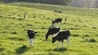 Calf cows on farmland. Holstein Friesians often shortened as Friesians, dairy cattle cows used to produce milk.