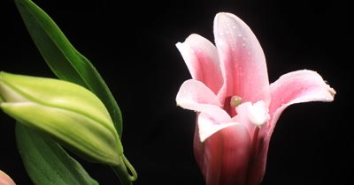 Flower timelapse opening lily blossom blooming