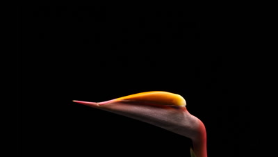 Bird of paradise (Strelitzia) flower opening time lapse blossom bud blooming on black background