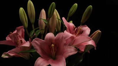 Lily flower bouquet opening time lapse blossom bud blooming on black background. (Lilium) is a genus of herbaceous flowering plants.