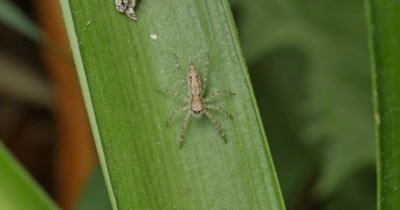 Spider macro - Aussie Bronze Jumper (Helpis minitabunda)