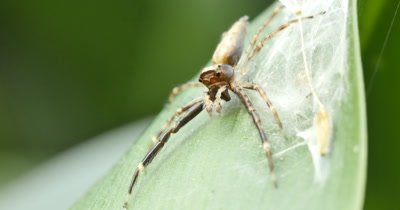 Spider macro 2 of 2 - Aussie Bronze Jumper - Helpis minitabunda - Salticidae