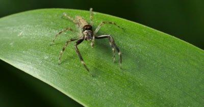 Spider macro 2 of 3 - Aussie Bronze Jumper - Helpis minitabunda - Salticidae