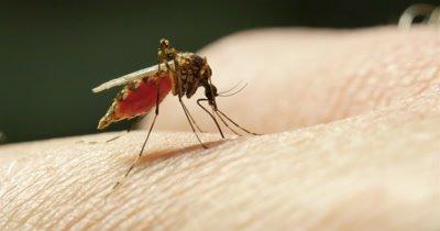 Mosquito sucking blood - Ochlerotatus vigilax (Aedes vigilax), subfamily CULICINAE