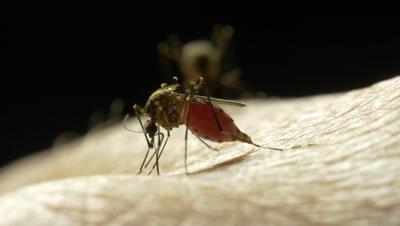 Mosquito - Mosquitoes sucking blood can cause diseases include Dengue fever, encephalitis, Ross River virus, Barmah Forerst virus and malaria -  Ochlerotatus vigilax (Aedes vigilax), subfamily CULICINAE