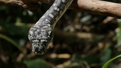 Diamond Python non-venomous snake reptile found in eastern Australia - (Morelia spilota spilota) is a subspecies of Carpet Python (Morelia spilota)