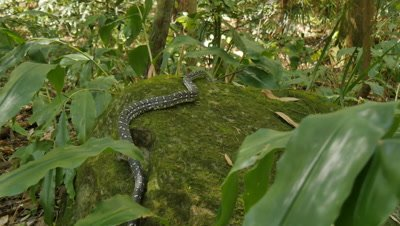 Snake on moss rock (1 of 3) - Diamond Python found in eastern Australia - (Morelia spilota spilota)