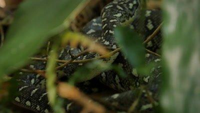 Snake in undergrowth (2 of 2) Diamond Python non-venomous snake reptile found in eastern Australia - (Morelia spilota spilota)