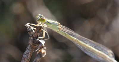 Damselfly - suborder Zygoptera (2 of 3). Damselflies are usually smaller than Dragonflies and with slender body. Their eyes are well separated on each side of the head.  Their wings are narrow at the base with hindwings of similar shape to the forewings. - Order Odonata