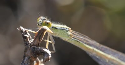 Damselfly - suborder Zygoptera (3 of 3). Damselflies are usually smaller than Dragonflies and with slender body. Their eyes are well separated on each side of the head.  Their wings are narrow at the base with hindwings of similar shape to the forewings. - Order Odonata