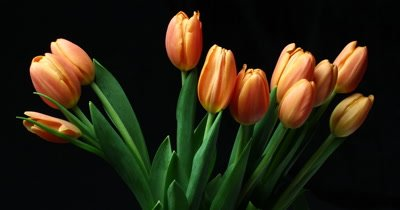 Orange tulip flower plant timelapse. The tulip is a Eurasian and North African genus of perennial, bulbous plants in the lily family.  Shot on black background over 96 hours.