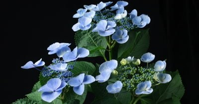 Blue hydrangea flowering plant drying out and withering timelapse