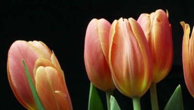 Orange tulips flower plant blooming timelapse. The tulip is a Eurasian and North African genus of perennial, bulbous plants in the lily family.  Shot with a remote slider dolly on a black background over 22 hours.