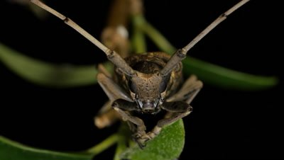 Fig Longicorn Beetle (4 of 9) - Acalolepta vastator (Dihammus vastator) FAMILY CERAMBYCIDAE. The Fig Longicorn Beetles have an annual life cycle. Adults can be seen between October and March. Larvae live inside tree trunks, including grapevines.