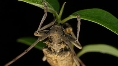 Fig Longicorn Beetle (7 of 9) - Acalolepta vastator (Dihammus vastator) FAMILY CERAMBYCIDAE. The Fig Longicorn Beetles have an annual life cycle. Adults can be seen between October and March. Larvae live inside tree trunks, including grapevines.