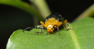 Blue Oides Leaf Beetle - Oides laetabilis