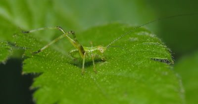 Young nymph Katydid (1 of 2) - Family TETTIGONIIDAE