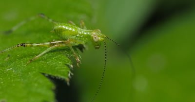 Young nymph Katydid (2 of 2) - Family TETTIGONIIDAE