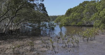 Timelapse Mangrove trees in coastal estuary environment tide going out.  Avicennia marina, commonly known as grey mangrove or white mangrove, is a species of mangrove tree classified in the plant family Acanthaceae.  Mangrove swamps are found in tropical and subtropical tidal areas, estuaries, marine shorelines and estuaries. Mudflats or mud flats, also known as tidal flats, are coastal wetlands that form when mud is deposited by tides or rivers. This Mangrove swamp is located at Minnamurra, NSW Australia.
