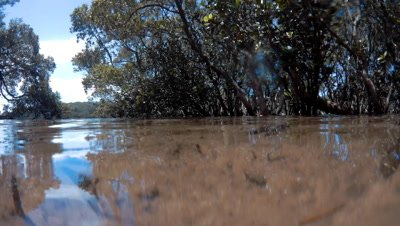 Underwater mangrove trees root in a marine estuary. These mangroves are Avicennia marina, commonly known as grey mangrove or white mangrove, a species of mangrove tree classified in the plant family Acanthaceae.