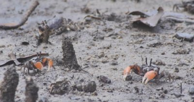 Mud crabs feeding and flixing burrows in a mangrove tidal flat. They favour soft muddy bottoms below the low tide level and  generally live in sheltered estuaries, mud flats, mangrove forests and the tidal reaches of some rivers. Minamurra NSW Australia