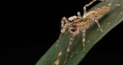 'Aussie Bronze Jumper' female jumping spider - Helpis minitabunda - Salticidae