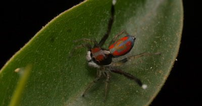Peacock Spider - Maratus (Salticidae) First time caught on camera this new un-describe species has never been seen before and it is the first time it has ever been filmed. The complex mating display and dance took 4 days to film and is unique to this species. Peacock Spider Maratus from NSW Australia.