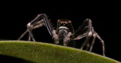 Male Jumping Spider called the Aussie Bronze Jumper - Helpis minitabunda - Salticidae