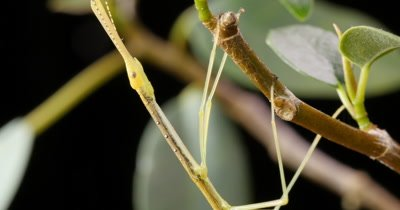 Stick insect (4 of 6). Phasmatodea (also known as Phasmida or Phasmatoptera) are an order of insects, whose members are variously  known as stick insects or walking sticks.