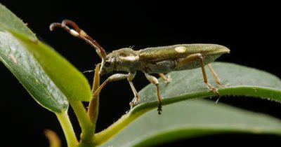 Golden Longicorn Beetle (3 of 3) - Cerambycidae-  The longhorn beetles are a cosmopolitan family of beetles, typically characterized by extremely long antennae.