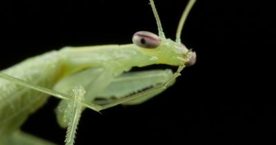 Praying Mantis (4 of 5) - Mantises are an order (Mantodea) predatory insects that use their powerful front legs to catch their prey. The mouth parts, maxilla and the labium have palp like little antennae that sense touch and taste.