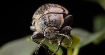 Hairy Bark Beetle macro closeup (1 of 4) Order Coleoptera