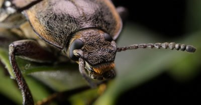 Hairy Bark Beetle macro closeup (3 of 4) Order Coleoptera