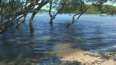 Time lapse of mangrove trees, tide going out in a marine estuaries tidal mud flat.  Avicennia marina, commonly known as grey mangrove or white mangrove, is a species of mangrove tree classified in the plant family Acanthaceae. This Mangrove swamp is located at Minnamurra, NSW Australia.
