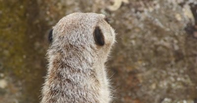 Meerkat on the lookout. One meerkat will stand on its hind legs, propped up by its tail, and act as a lookout while the rest of the mob is outside.  Meerkat or suricate (Suricata suricatta) is a small carnivoran belonging to the mongoose family (Herpestidae).