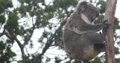 Koala in tree (Phascolarctos cinereus). The koala is an arboreal herbivorous marsupial native to Australia and is one of the only mammals that can survive on a diet of eucalyptus leaves.  It is the only extant representative of the family Phascolarctidae.
