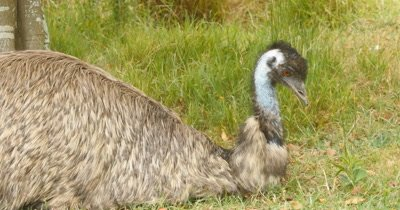 Emu resting (1 of 2). The emu is endemic to Australia where it is the largest native bird and the only extant member of the genus Dromaius (Dromaius novaehollandiae).