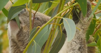 Koala eating eucalyptus leaves. The koala is an arboreal herbivorous marsupial native to Australia and is one of the only mammals that can survive on a diet of eucalyptus leaves.  It is the only extant representative of the family Phascolarctidae. (Phascolarctos cinereus)
