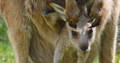 Eastern grey kangaroo joey (Macropus giganteus) is a marsupial found in southern and eastern Australia. The grey kangaroos joey leave the pouch at about 11 months but continues to suckle until they are as old as 18 months.