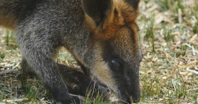 Swamp wallaby (Wallabia bicolor) is a small macropod marsupial of eastern Australia.  This wallaby is also commonly known as the black wallaby, black-tailed wallaby, fern wallaby, black pademelon, stinker. The swamp wallaby is the only living member of the genus Wallabia.