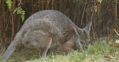 Red-necked wallaby (3 of 5). Also known as Bennett's wallaby is a medium-sized macropod marsupial, common in the more temperate and  fertile parts of eastern Australia, including Tasmania. (Macropus rufogriseus)