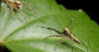 Spider courtship display of the Aussie Bronze Jumper spider. The male Helpis spp spider uses it's front legs to catch the attantion of the female spider -  Helpis minitabunda (Salticidae)