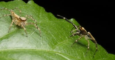 Spider courtship display of the Aussie Bronze Jumper spider. The male Helpis spp spider uses it's front legs to catch the attantion of the female spider -  Helpis minitabunda (Salticidae)