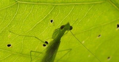Praying Mantis - Mantises are an order (Mantodea) predatory insects that use their powerful front legs to catch their prey.