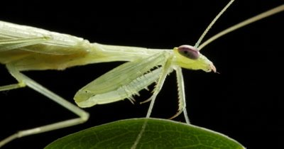 Praying Mantis (3 of 4) - Mantises are an order (Mantodea) predatory insects that use their powerful front legs to catch their prey. The mouth parts, maxilla and the labium have palps-like little antennae that sense touch and taste.