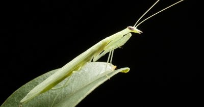 Praying Mantis (4 of 4) - Mantises are an order (Mantodea) predatory insects that use their powerful front legs to catch their prey. The mouth parts, maxilla and the labium have palps-like little antennae that sense touch and taste.