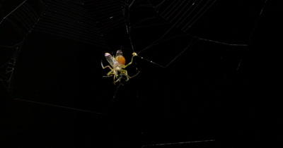 Spider catching insect in web at night in forest. The spider web is made of different type of spider silk.  Spider generates different type of silk to build different parts of their web. This small spider builds an 'Orb Web Structure' to capture it's prey,  the Capture spiral is the only sticky silk on the spider web, it entangles prey if they enter the web.