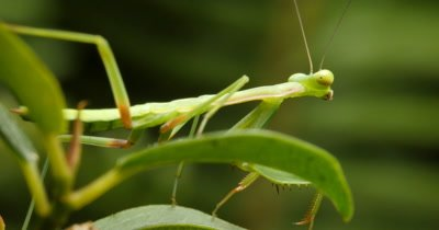 Green Praying Mantis on leaf - Mantises are an order (Mantodea) predatory insects that use their powerful front legs to catch their prey. The mouth parts, maxilla and the labium have palps-like little antennae that sense touch and taste.